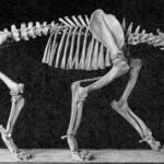Smilodon skeleton - Frame