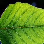 Leaf - Complex